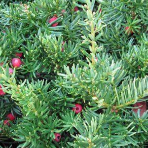 Yew shrub foliage
