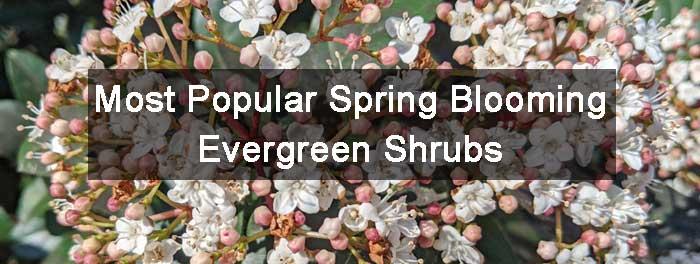 Spring Blooming Evergreen Shrubs