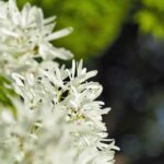 osmanthus white blooms
