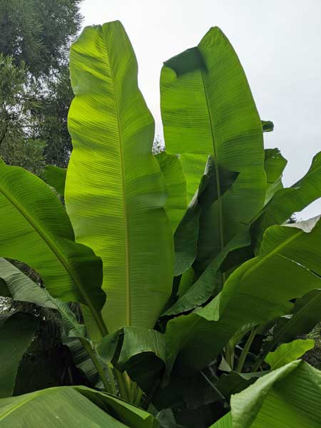 Musa Basjoo Banana leaves