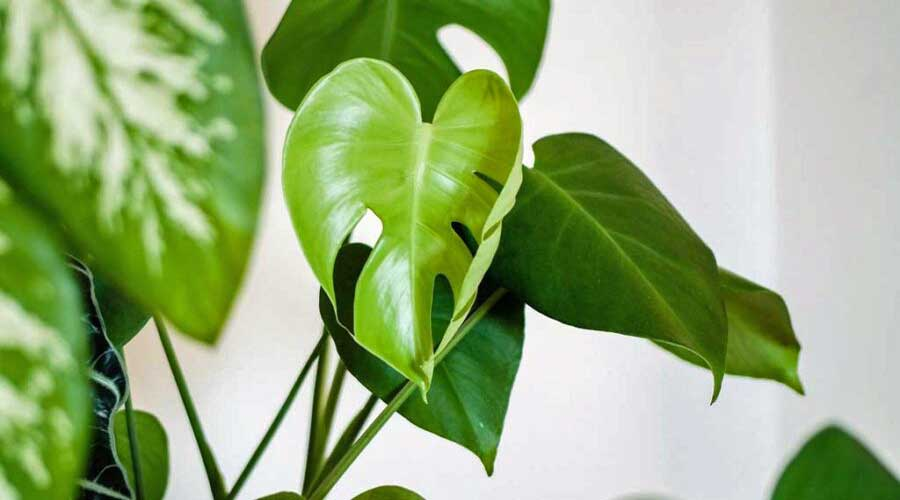 Monstera house plant