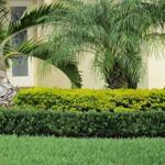 Podocarpus Pringles Dwarf