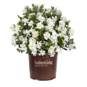 Jubilation Gardenia