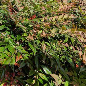 Nandina foliage