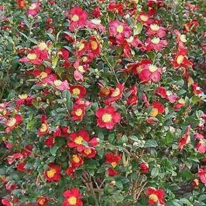 Yuletide Camellia Flowers