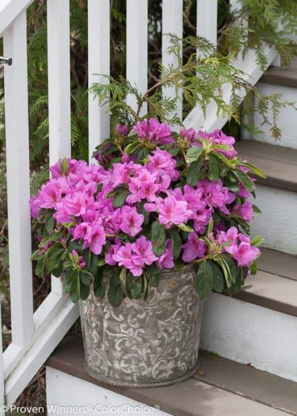 Bloom-A-Thon Lavender Azalea