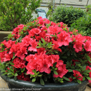 Bloom-A-Thon red Azalea