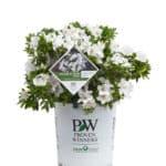 Bloom-A-Thon White Azalea